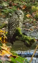 Photo: Barred Owl, fishing? photo by: Peter Cummings