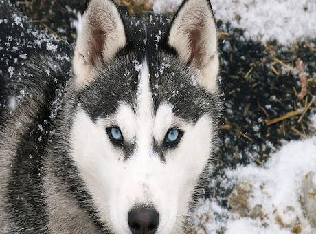 Wolf Tab