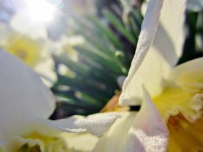 Photo: Little water droplets on daffodil petals at Wegerzyn Gardens Metropark in Dayton, Ohio.