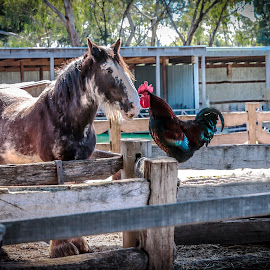 animal gossip by Gary Parnell - Animals Horses ( horse, rooster, bird, animals,  )