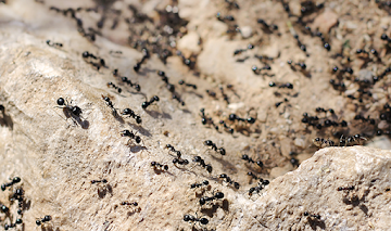 ants all over a rock
