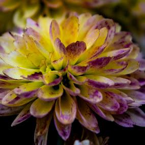 by Vicki Switala Riley - Flowers Single Flower ( macro, mum, fall, macro photography, yellow, purple, autumn, flowering, flower,  )