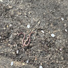 Common Earthworm