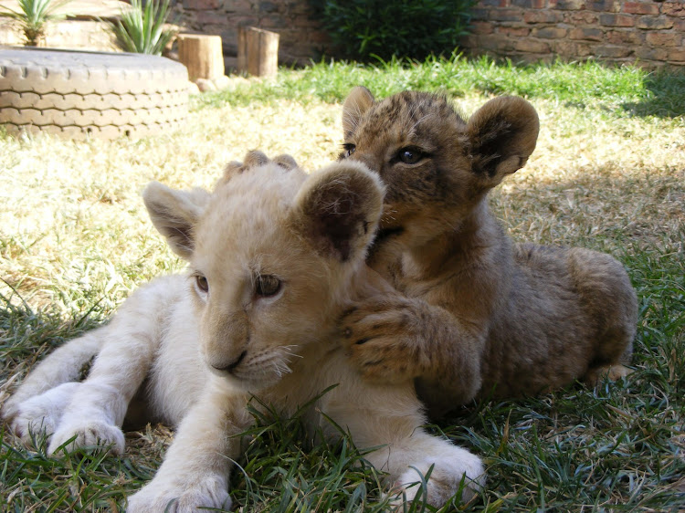 Lion cub petting stopped as Gauteng park aims to be a