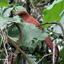 Cucu ardilla - Squirrel cuckoo