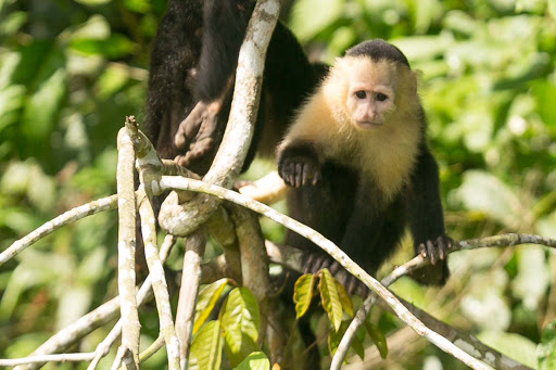 A white-faced capuchin summons up courage to approach our boat at Monkey Island in Panama.