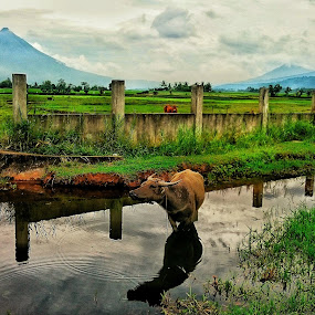 Carabao and Cow by Rodel Diaz - Animals Other Mammals