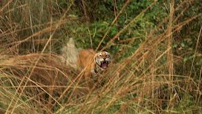 Man-eating Tiger thumbnail