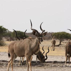 GEMSBOK by Sandra Mcgowan - Animals Other ( kruger park, gemsbok, wild animals, botswana )
