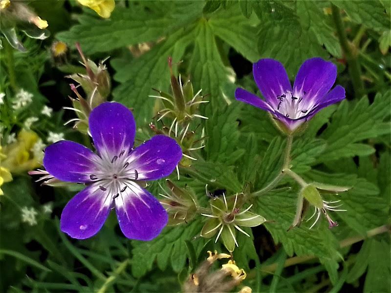 Flora alpina di pattylane
