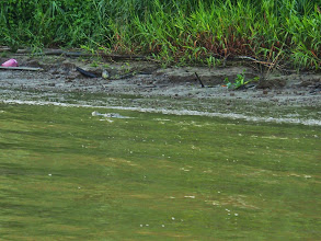 Photo: Last croc of a day.