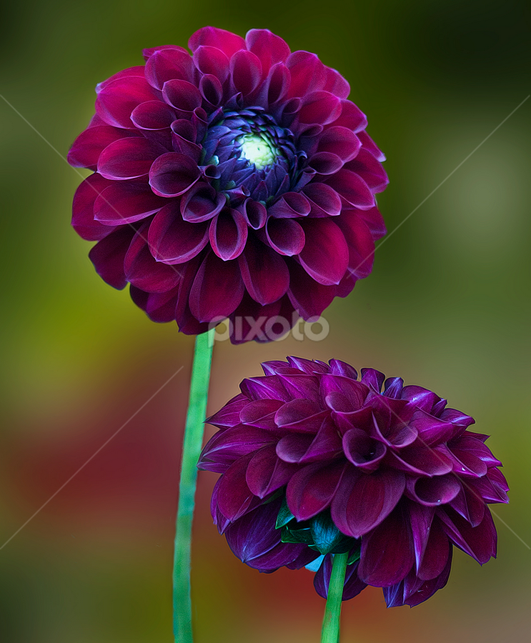 Double Dahlia by Carl Sieswono Purwanto - Nature Up Close Flowers - 2011-2013