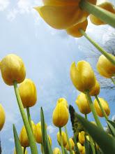 Photo: Golden tulips under a blue sky at Wegerzyn Gardens in Dayton, Ohio.
