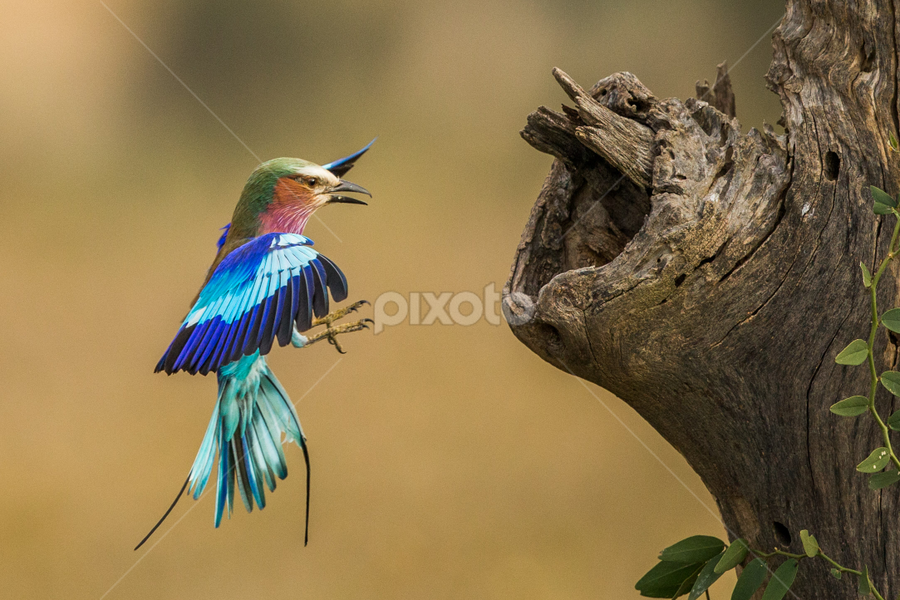 Hunny I am home by Lourens Lee Wildlife Photography - Animals Birds ( animals, wildlife, lilec breasted roller, lourens lee, africa, birds, birds in flight,  )