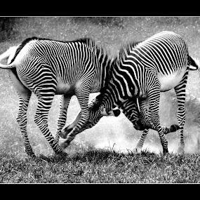 Jugendkampf by Inger Wakolbinger - Animals Other ( black and white )