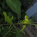 Green Iguana Juveniles