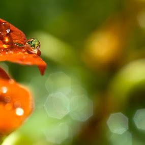 Morning Dew by Mark Denham - Abstract Fine Art ( red, green, dew, morning, dewdrop, flower )