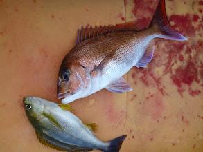 Photo: 真鯛とイサキのコラボ。