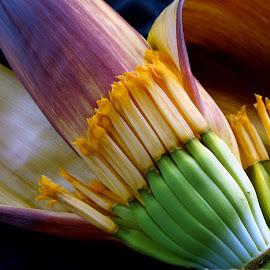 Koldil... the banana flower  by Asif Bora - Nature Up Close Gardens & Produce (  )
