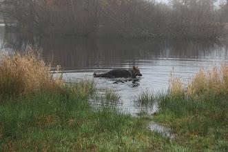 Photo: Buck geniet van het water