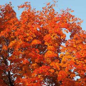 Maple Fire by Susan Grefe - Landscapes Forests ( orange, red, fall, leaves, fire, maple )