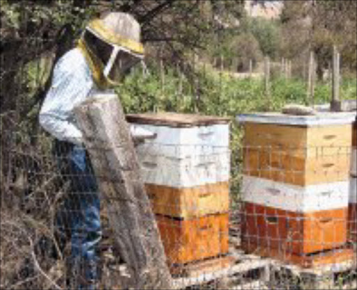 HONEY JACKPOT: A beekeeper at work in an industry that is set to boom in South Africa. Pic. Chester Makana.  © Sowetan.