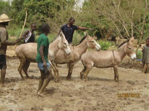 Photo: Mali - Using donkeys to puddle the soil [2013, photo by Hamidou Guindo]