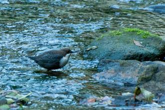 Photo: White-throated Dipper (Wasseramsel); Polenztal, DE