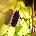 Giant Leopard Moth ( A Third Caterpillar )