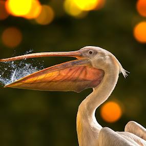 Second Chance by Geo Messmer - Animals Birds ( bird, animals, second, fish, wildlife, chance, pelican, animal )