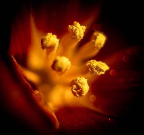 by Eden Meyer - Nature Up Close Other plants ( pollen, heart, fower, yellow )