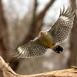 Red-bellied Woodpecker 201901165897 by Carl Albro - Animals Birds ( flight, bird in flight, bird, flying, woodpecker, wildlife )