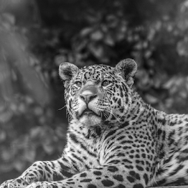 Jaguar by Garry Chisholm - Black & White Animals ( nature, mammal, big cat, jaguar, garry chisholm )