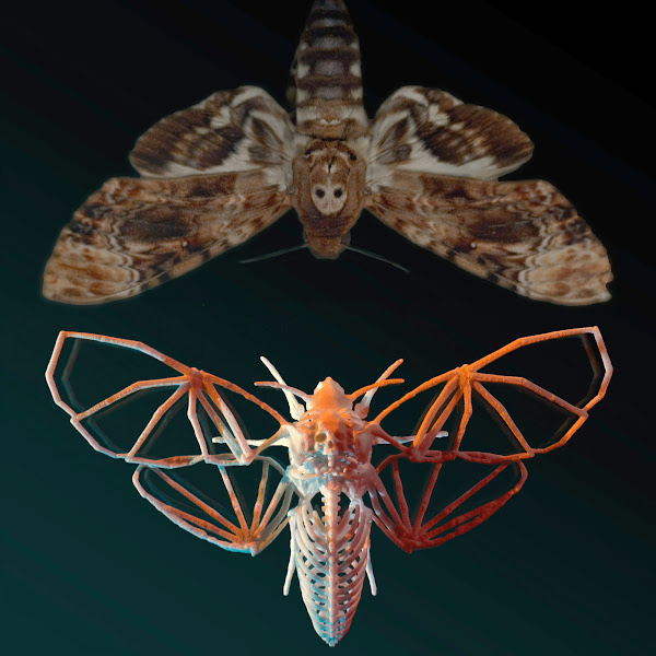 Photo: My latest 3D-printed model is now available. I created the skeleton of a skeletal Lepidoptera. The Death's Head Hawkmoth (Acherontia atropos), seen on The Silence of the Lambs, has a skull marking on its back. I made a full human-like bone structure for the moth, with the grinning skull protruding from its back.   You can get one in white, black, or red, for $15: http://www.shapeways.com/model/558784/death-s-head-hawkmoth-skeleton.html  The model is very thin, yet sturdy and flexible. Detail level is fantastic, and the natural texture of the 3d printing process gives it a bone-like appearance that works wonders.  Yes, moths don't have endoskeletons, that's the whole point...