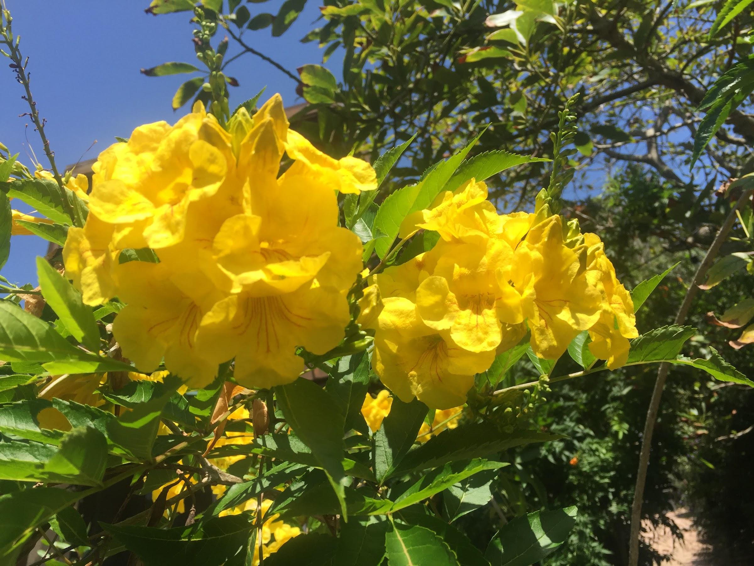[省水植物] 紫葳科 金鐘花Water Wise Plant:Orange Bell/Orange Jubilee trumpet bush – Miloh's Diary 麥寶的日子