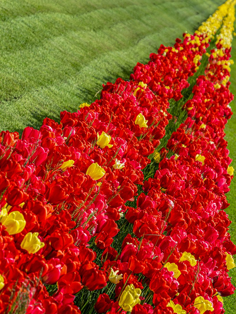 La via dei tulipani di nevios