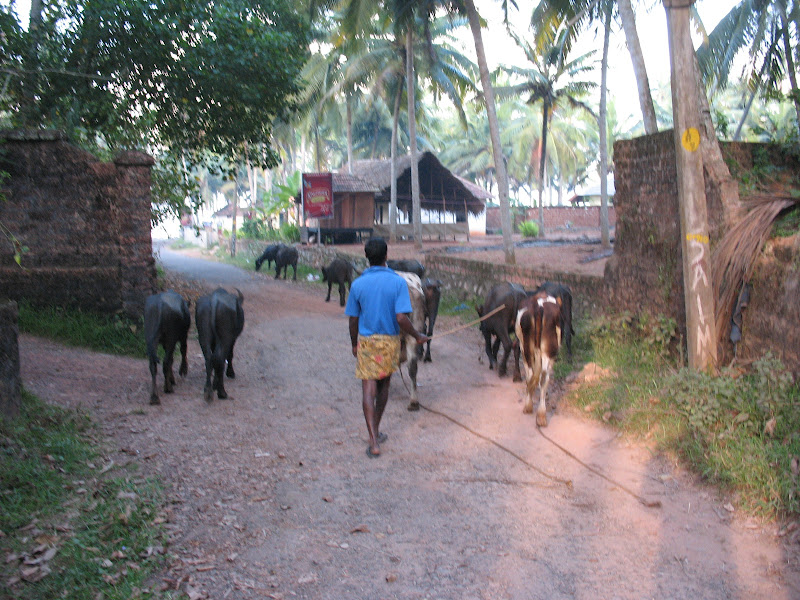 Photo: Cows in the road. A common occurrence in India