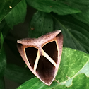 Triangle-Striped Moth