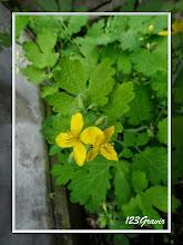 Photo: Chélidoine, Chelidonium majus
