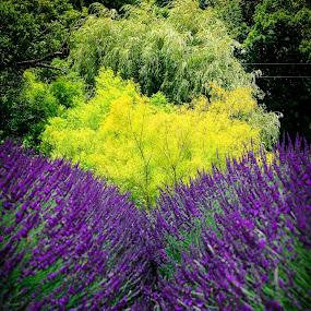Lavender Fields by Mitch Lassiter - Nature Up Close Flowers - 2011-2013 ( farm, lavender fields, harvest, flowers, lavender )