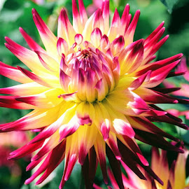 dahlia by Betty Taylor - Flowers Single Flower ( red, flowers, pink, dahlis, gardenflowers,  )