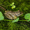 Peralta Frog
