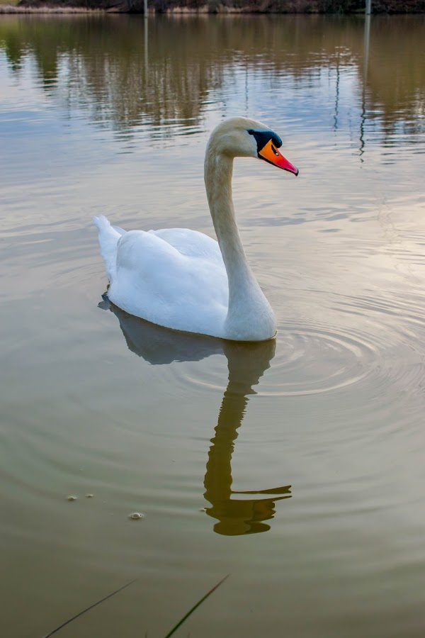 Swan by Matija Šimunić - Animals Birds ( water, bird, animals, reflection, swan )