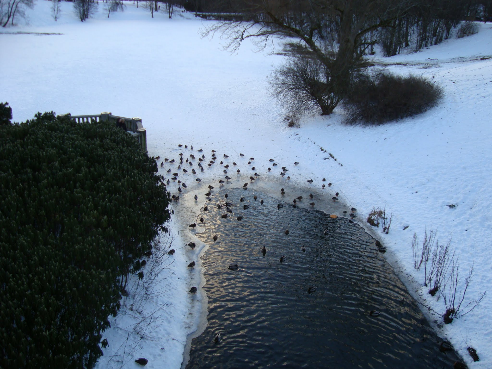 Photo: The ducks don't mind the cold