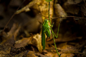 Photo: Grasshopper Katydid We had a lovely sky today so I headed out to shoot the approaching thunderstorm. Apparently the SD card in the camera is dying. The Canon wouldn't shoot three continuous RAW images, so I'm stuck with a hodgepodge of RAW and JPEGs.  Fortunately I came across this guy on my way home.  #365project curated by +Simon Kitcher+Patricia dos Santos Patonand +Vesna Krnjic  Also hoping someone on #bugseveryday curated by +Chris Mallorycan identify what this little fellow is.