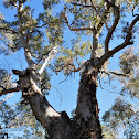 Mountain Blue Gum