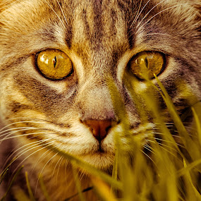 by Idan Presser - Animals - Cats Portraits