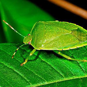 grn stink bug x.jpg