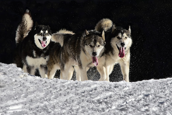 Cani in corsa di BastetC