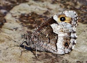 Photo: Ockerbindiger Samtfalter (Hipparchia semele) (sehr selten geworden; besonders geschützt)